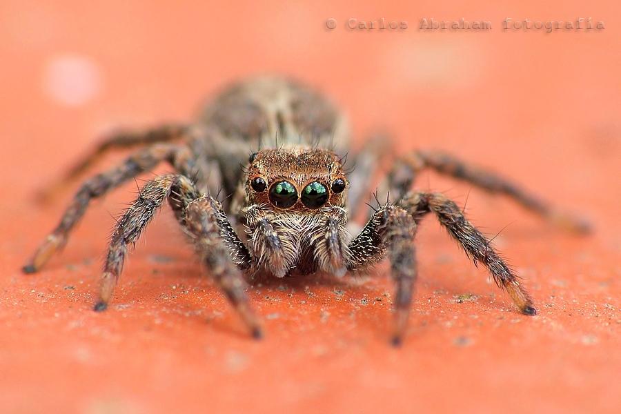 Araña saltadora.jpg