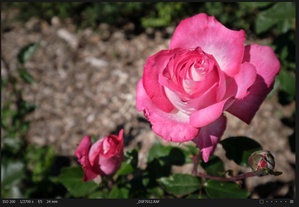 Rosa 3.JPG